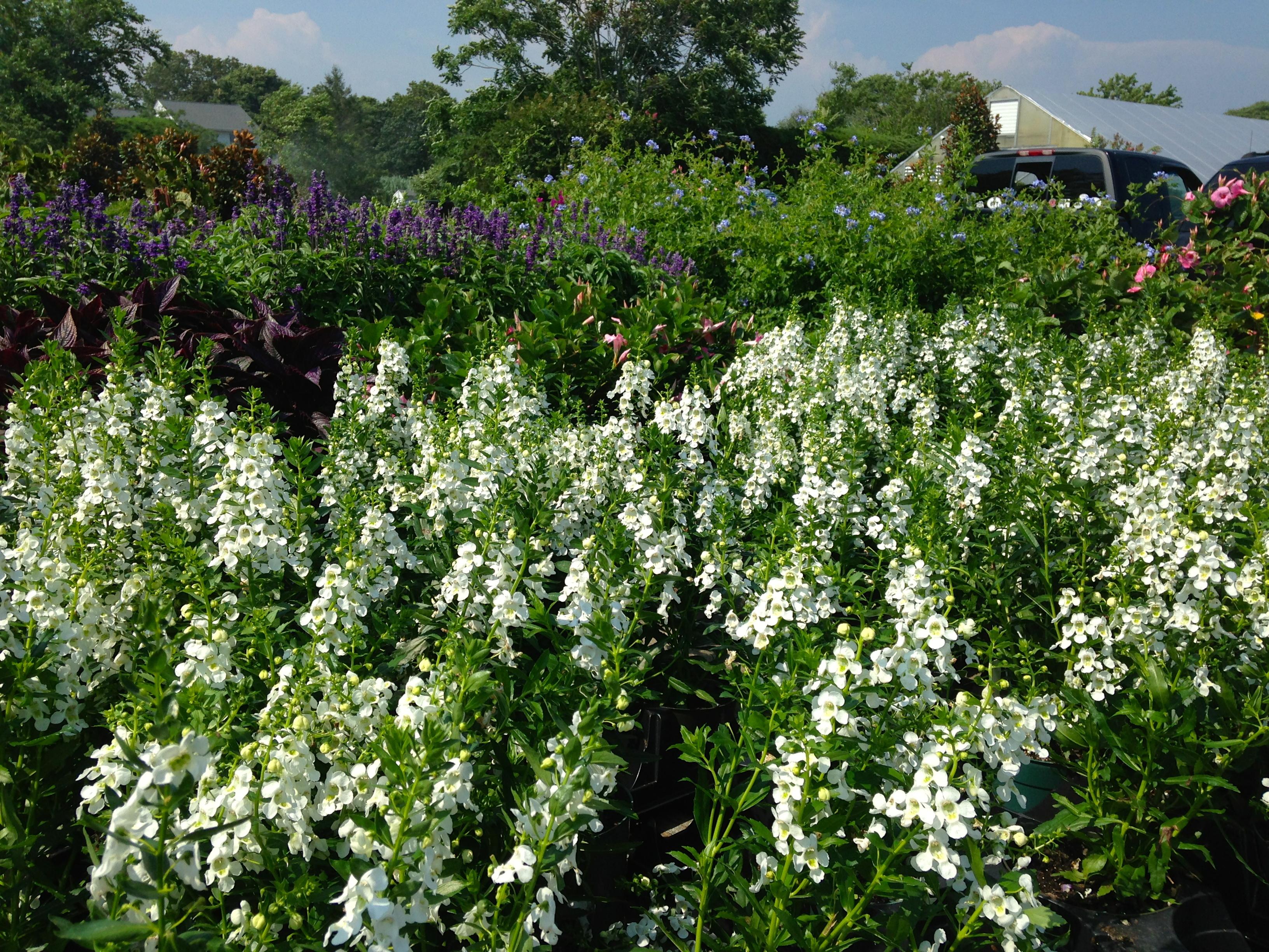 New Kdhamptons Garden Diary Eastland Farms Still In Full Bloom