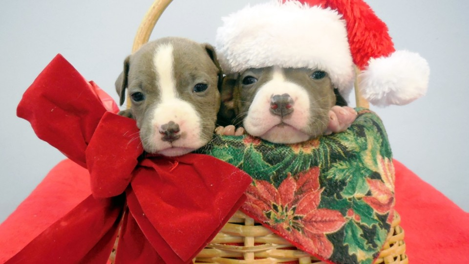 Xmas basket pups