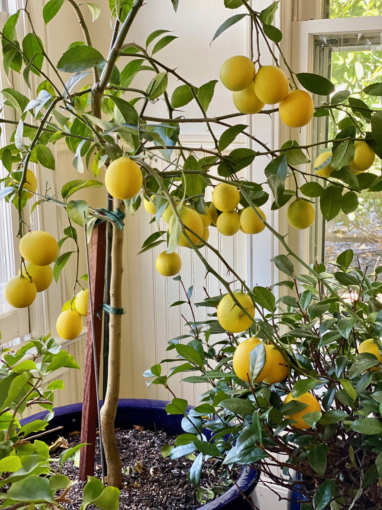 My Top Tips For Growing A Magnificent Meyer Lemon Tree Who Needs The Supermarket Kdhamptons